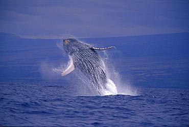 Hawaii, Underside breaching Humpback Whale (Megaptera novaeangliae) D1947