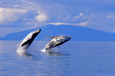 [DC] Alaska, Frederick Sound, humpback Whales double breach Inside Passage land background clouds Megaptera novaeangliae D1960