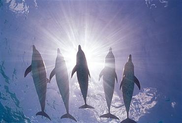 Caribbean, Little Bahama Bank, 5 Atlantic Spotted Dolphins silhouette sunburst surface (Stenella) D1923