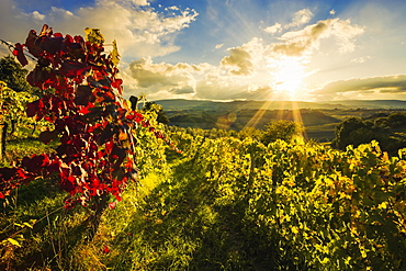 Wine grape vineyard; Ulignano, Tuscany, Italy