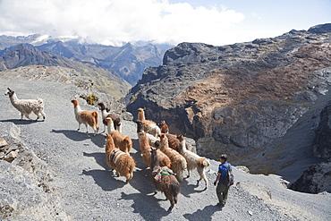 Aymara Boy Herding A Llama Train On The El Choro Pre-Columbian Road In The Cordillera Real, La Paz Department, Bolivia