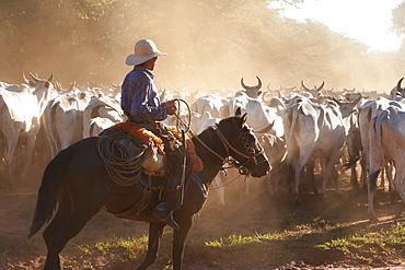 Bolivian Cowboys Herding Indo-Brazilian Cattle (Bos Indicus) In Rural Chiquitania, Santa Cruz Department, Bolivia