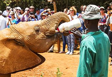 Worker bottle-feeding an orphaned African elephant (Loxodonta africana) at the Sheldrick Elephant Orphanage, Nairobi, Kenya