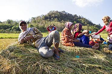 rice harvest Flores Island, East Nusa Tenggara, Indonesia