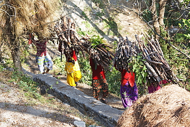 Traditionally dressed Indian women carrying firewood on their heads to rural mountain village