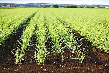 Field of onions, Hollard Marsh, Bradford, Ontario, Canada