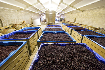 Grape mash, Paarl, Western Cape, South Africa