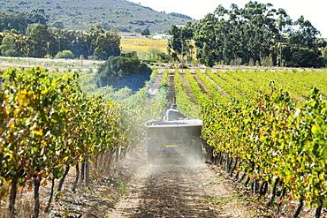 Wine grape harvest, Stellenbosch, Western Cape, South Africa