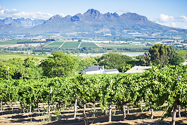 Rows of vines in a vineyard with mountains, Stellenbosch, Western Cape, South Africa