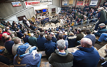 Pedigree British Blue sale at Chelford livestock auction mart, Cheshire, England