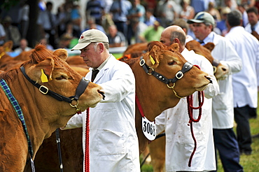 Limousin beef cattle being showed at the Royal Welsh show, Wales