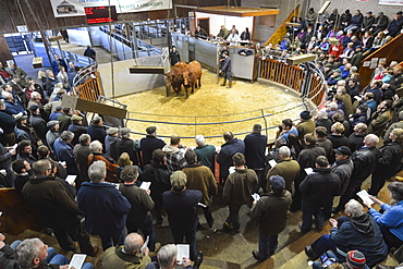 Luing cattle in sale ring at Castle Douglas, Scotland