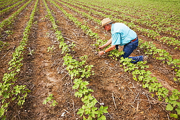 No till Roundup ready cotton in approximately 8-10 leaf stage with volunteer cotton, England, Arkansas, United States of America