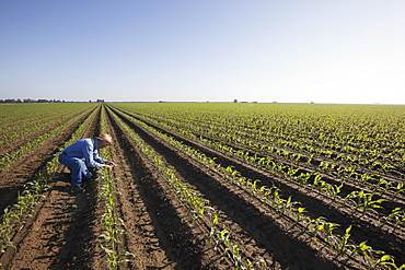 Crop consultant examines conventional till corn at approximately 8-10 leaf stage, growing on bedded land for furrow irrigation, England, Arkansas, United States of America