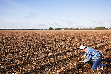 Grower (crop consultant) checks rotting corn crop debris in field of cotton stubble, England, Arkansas, United States of America