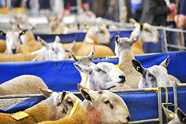 Sheep for sale at the Kelso ram sales, with shepherds looking to purchase new stock rams, United Kingdom