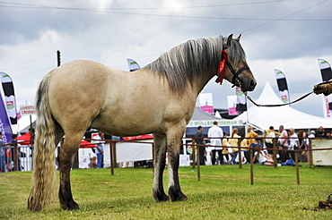 Highland pony at a show, Scotland