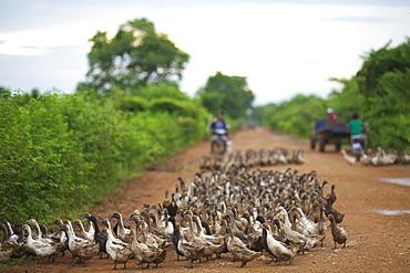 Duck herding, Battambang, Cambodia
