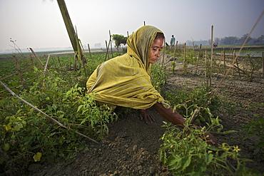 Woman working in a field, Rangpur, Bangladesh