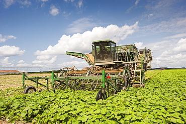 Cucumber harvest, Preston, Maryland, United States of America