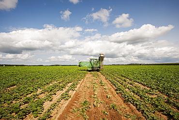 Cucumber harvesting, Preston, Maryland, United States of America
