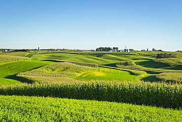 Alfalfa fields and corn fields are terraced among dairy farms, Iowa, United States of America