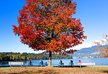 A tree with bright red foliage in Stanley park with cyclists passing on a trail at the water's edge, Vancouver, British Columbia, Canada