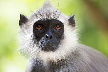 Gray langurs or Hanuman langurs (Semnopithecus entellus) are the most widespread langurs of the Indian Subcontinent. They are found throughout most of India and Sri Lanka, where this image was taken, and are also established in parts of Pakistan, Nepal, B