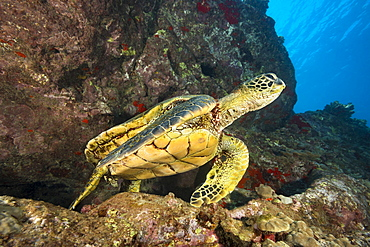 Green sea turtle (Chelonia mydas), an endangered species, in an underwater crevice off West Maui, Maui, Hawaii, United States of America