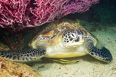 Green sea turtle (Chelonia mydas), an endangered species, is resting under a fan of gorgonian coral along with two remora, Philippines