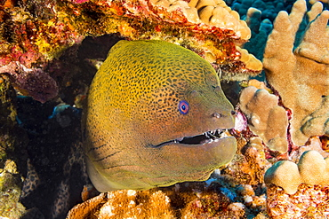 The Giant Moray Eel (Gymnothorax javanicus) can be found around the world in tropical waters, but is very rare in Hawaii, Hawaii, United States of America