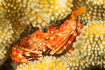 The Hawaiian Swimming Crab (Charybdis hawaiensis) adult is about 3 inches across it's carapace, Hawaii, United States of America