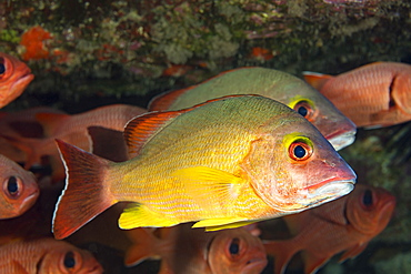 The Blacktail Snapper (Lutjanus fulvus) reach 13 inches in length and feed mostly on small fish and crabs. This is one of several species that were sucessfully introduced to Hawaii, Hawaii, United States of America