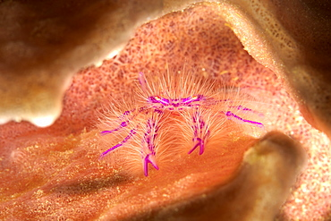 The Hairy Squat Lobster (Lauria slagiani) is found alone, and in pairs, on the outside of barrel sponges belonging to the genus Xestospongia. They are tiny (one centimeter across) and difficult to find on the folds of the sponge, Philippines