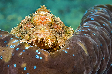 This Common Scorpionfish (Scorpaenopsis oxycephala) is perched on the mantle rim of a Giant Tridacna Clam (Tridacna gigas). It's venomous spines can inflict a painful wound, Philippines