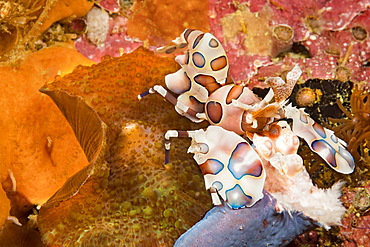 A Harlequin Shrimp (Hymenocera elegans) holding part of a blue seastar (Linkia laevigata) which it will feed on, Philippines