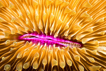 Mouth detail of a colourful and healthy Mushroom coral, Fungia fungites, that is growing on a tropical coral reef in the Philippines. Mushroom coral is unique in the coral world, in that it does not attach itself to the bottom, Philippines