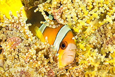 Clark's anemonefish (Amphiprion clarkii) in Beaded Sea Anemone (Heteractis aurora), Philippines