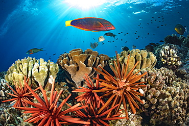 Colourful coral reef and schooling fish, Hawaii, United States of America