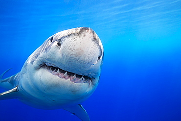 Great White Shark (Carcharodon carcharias) was photographed off Guadalupe Island, Mexico
