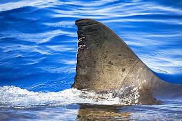The strings hanging off the dorsal fin of this Great White Shark (Carcharodon carcharias) are parasitic copepods. Photographed just breaking the surface off Guadalupe Island, Mexico