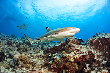 Blacktip Reef Sharks (Carcharhinus melanopterus) swimming over a coral reef, Yap, Micronesia