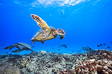 A snorkeler observes a group of Green Sea Turtles (Chelonia mydas) from above, Hawaii, United States of America
