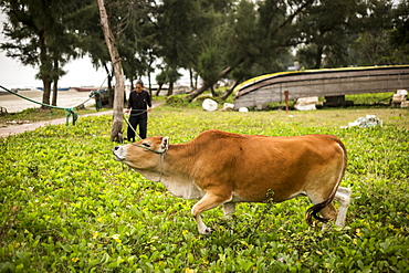 A farmer with his cow tied to a tree, Mong Cai, Quang Ninh Province, Vietnam