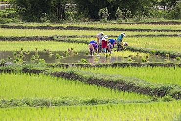 People planting rice in fields near Phonsavan, Xiangkhouang, Laos