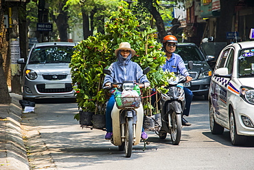 Woman carrying large plants on a motorcycle in the Old Quarter, Hanoi, Hanoi, Vietnam