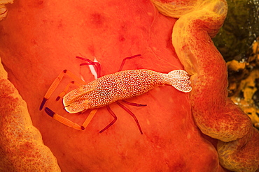An Imperial commensal shrimp (Periclimenes imperator), photographed at night on the Spanish dancer nudibranch (Hexabranchus sanguineus), that it calls home, Philippines