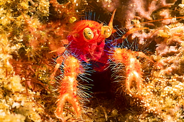 Bug-eye Squat Lobster (Neomunida olivarae), also known as a colored squat lobster or the google-eyed fairy crab, Dumaguete, Philippines