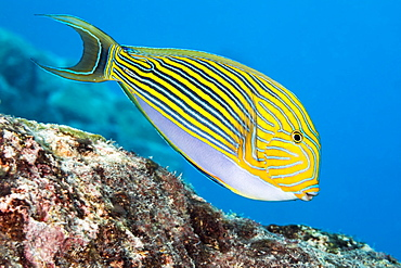 The Striped Surgeonfish (Acanthurus lineatus), are often found near the top of the reef in the surge zone, Yap, Micronesia