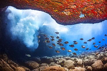 Pacific ocean surge brings down oxygenated sea water to a school of Whitebar Surgeonfish (Acanthurus leucopareius), Hawaii, United States of America